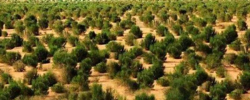 梭梭树被称之为什么