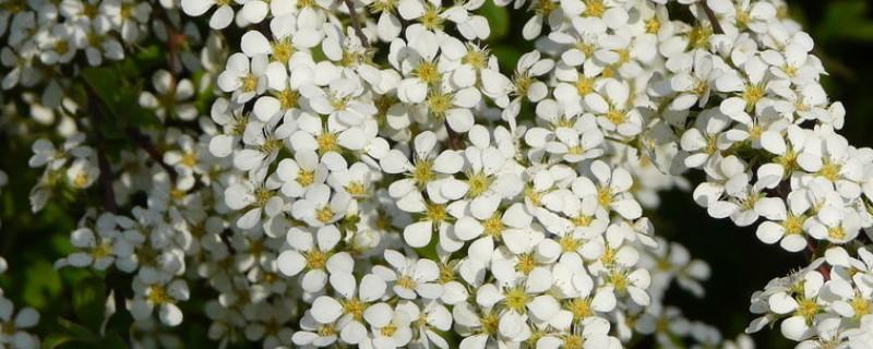 绣线菊亚科代表植物