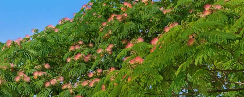 榕花树的花有什么作用