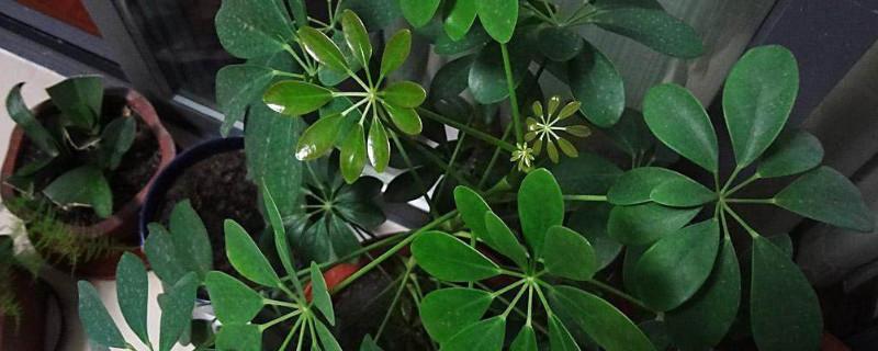 鸭掌木开花的征兆