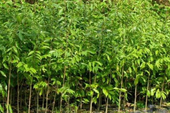 新栽的树苗多久上肥