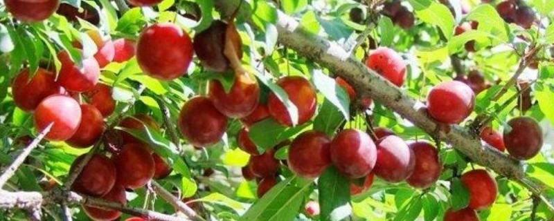 樱桃李的果子能吃吗