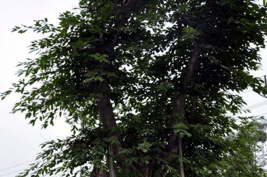 栽黄角树的禁忌