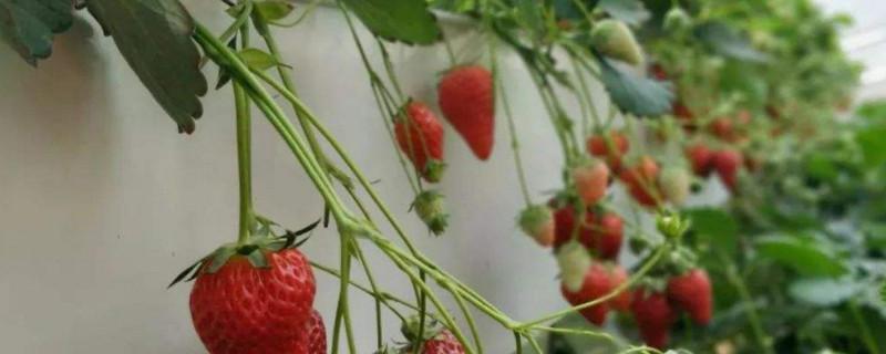 草莓光长藤蔓不开花