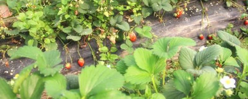草莓夏天怎么管理