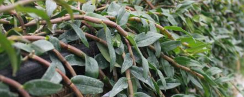 铁皮石斛发芽了还能吃吗
