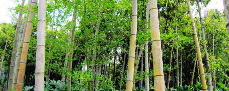 竹子黄叶子是什么原因