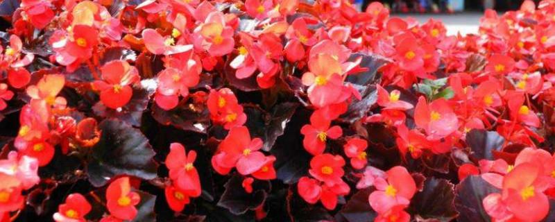 四季海棠花怎样繁殖可以插枝