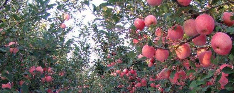 苹果树的繁殖方式主要是什么