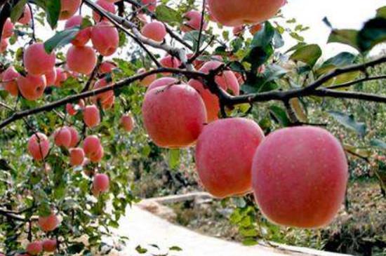 苹果树红蜘蛛用什么药最有效