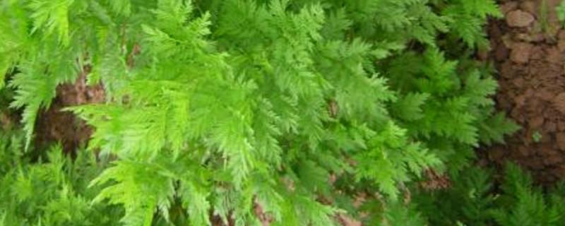 青蒿是什么植物
