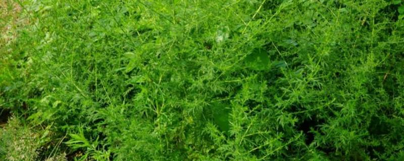 青蒿素是什么植物提取的