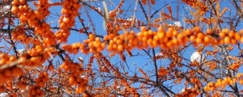 风景树上的红果能吃吗