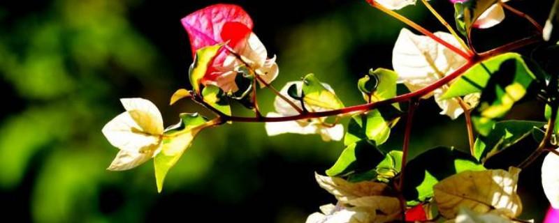 三角梅的花芽什么样子