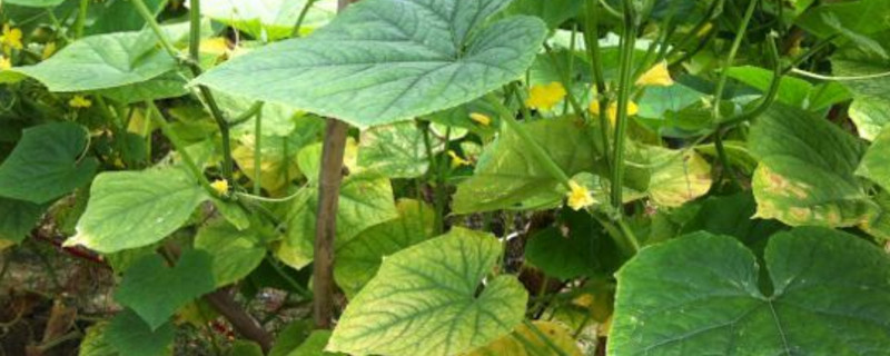 黃瓜葉子發黃怎么回事
