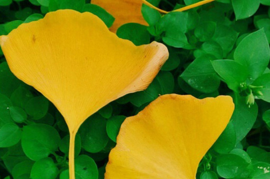 黄黄的银杏叶像什么