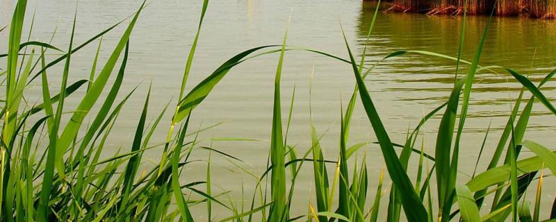 什么水草能净化水质
