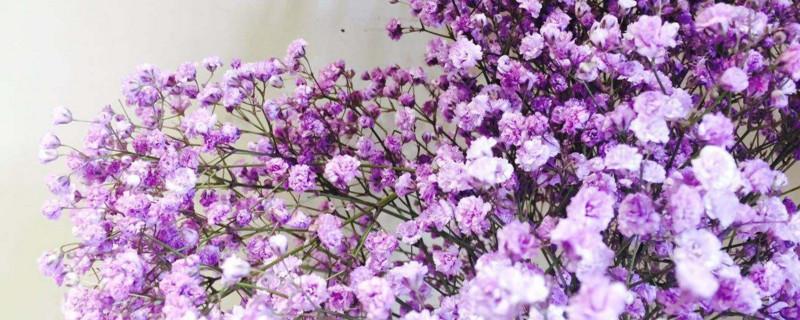 紫色满天星花语和寓意