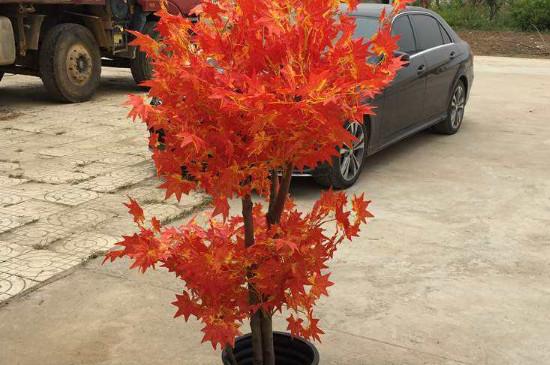 红枫树种植方法