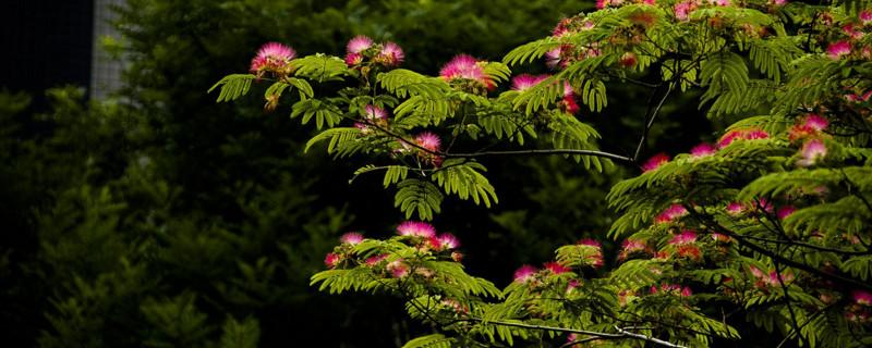 绒花树为啥叫鬼树