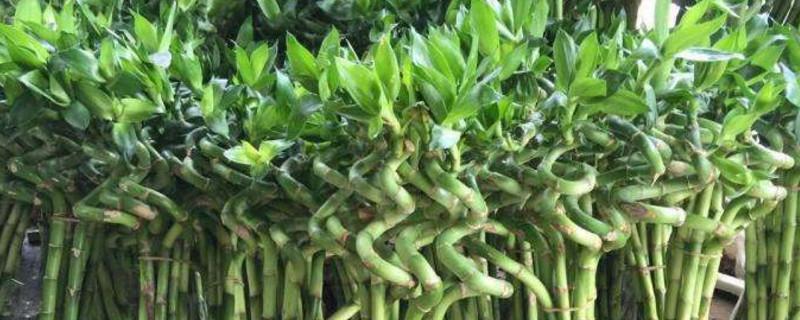 一个花瓶养几支富贵竹