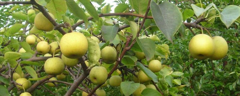 一年生秋月梨树修剪