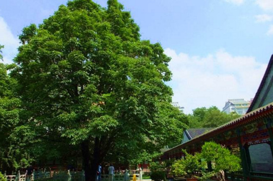 七叶树是菩提树吗