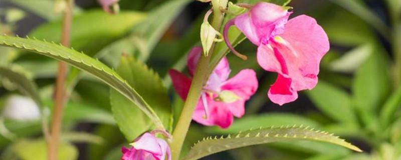 凤仙花的花朵是在植株的什么上长出来的