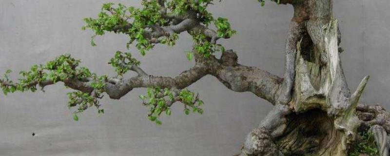制作盆景的树种有哪些