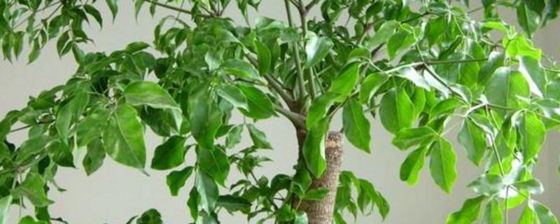 幸福树烂根的表现