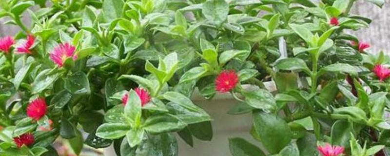 吊兰牡丹花可以吃吗
