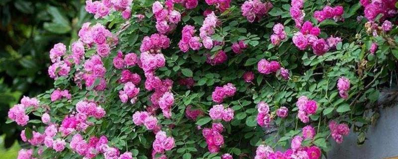 四季春花有毒吗