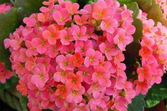 夏季楼房长寿花怎么养