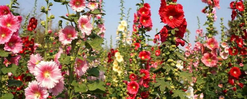 夏至有哪些花