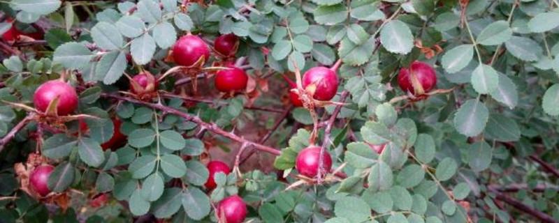 单瓣黄刺玫果实能吃吗