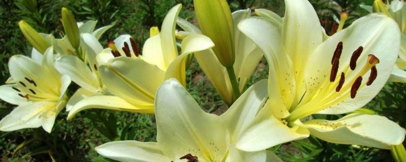 小叶百合花和大叶区别