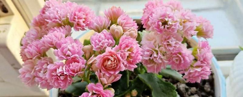 长寿花无叶茎扦插能活吗