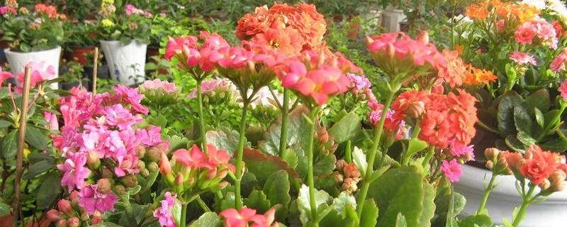 长寿花一盆栽几个最佳