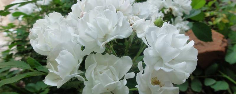 月季花有毒吗能在屋里养吗