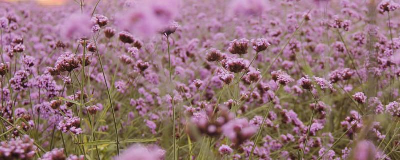 唇形科植物的特征