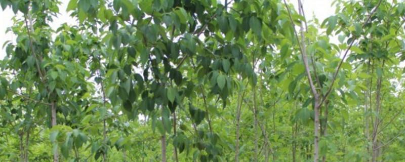 杜仲树移栽方法