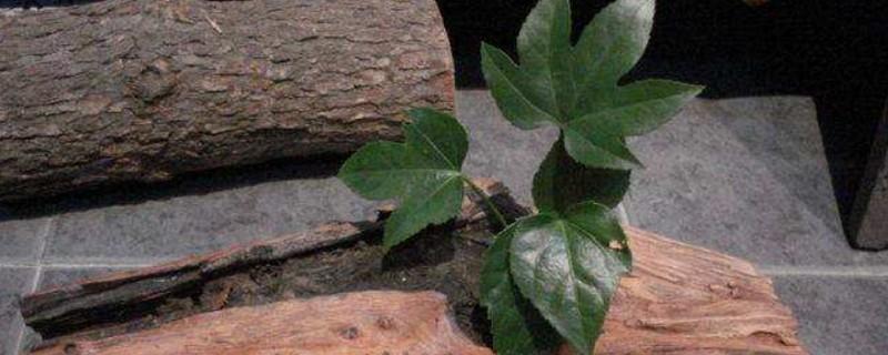 锦带硬枝扦插方法