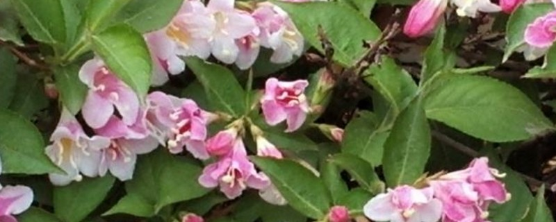 锦带几年开花