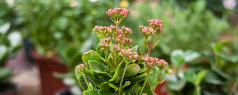 夏天长寿花的养殖方法和注意事项