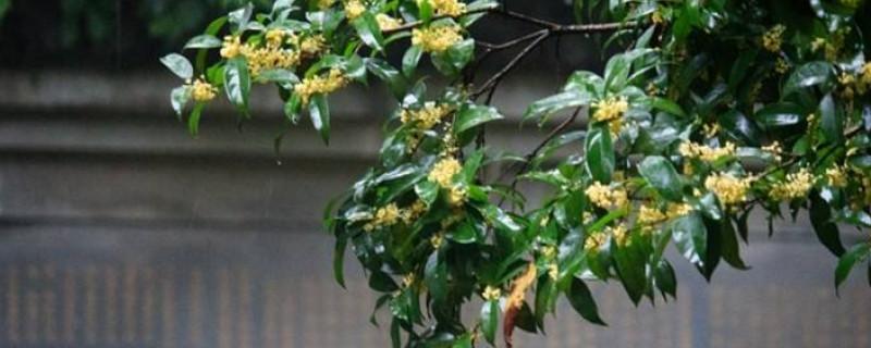 杭州的市花是什么市树是什么