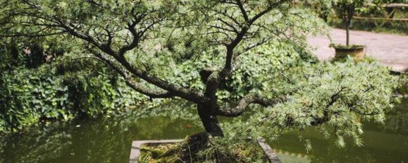 松树盆景配土方法