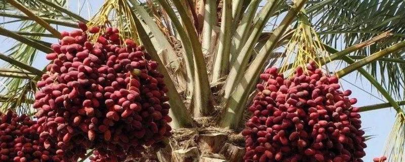 枣椰树分布在哪里