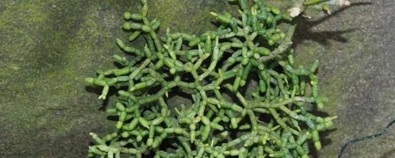 丝苇吊兰的养护方法
