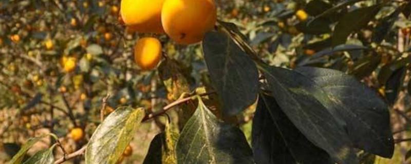 柿子树叶子发黄发卷