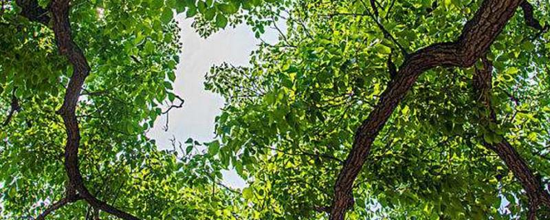 树冠是指树的哪里